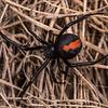 Redback spider (Latrodectus hasselti). The Clock on the Hill, Alexandra, Central Otago.