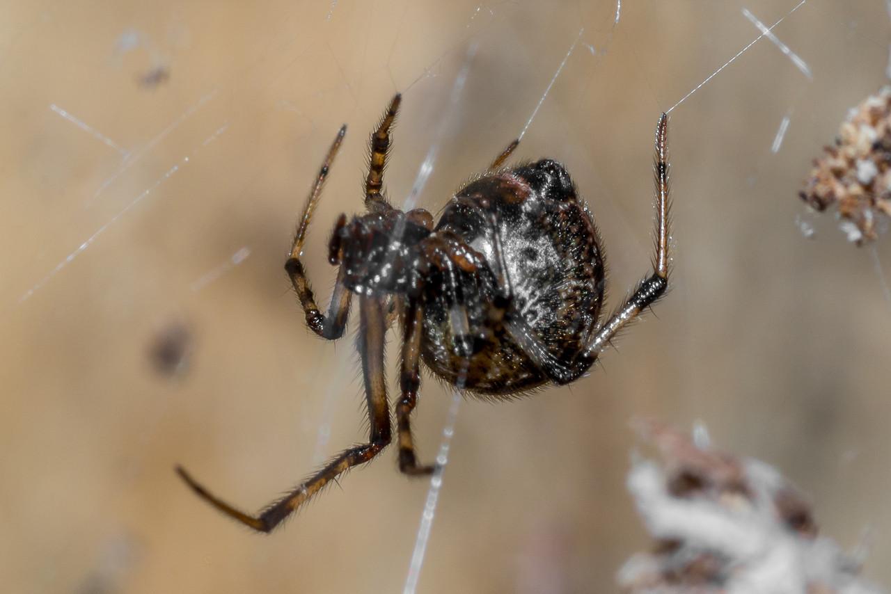 Common house spider (Parasteatoda tepidariorum). St Croix Falls, WI, USA.