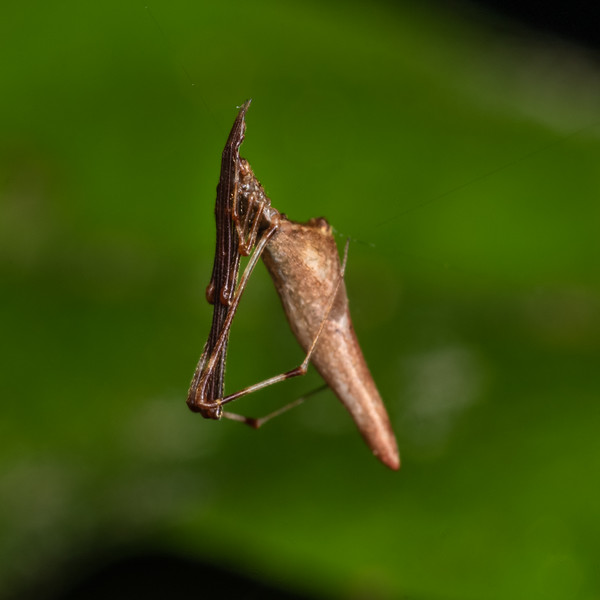 Cobweb spider (Rhomphaea urquharti). Danseys Reserve, Rotorua.