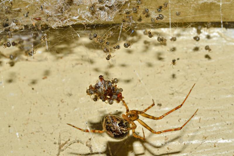 Cobweb spider. Opoho, Dunedin.