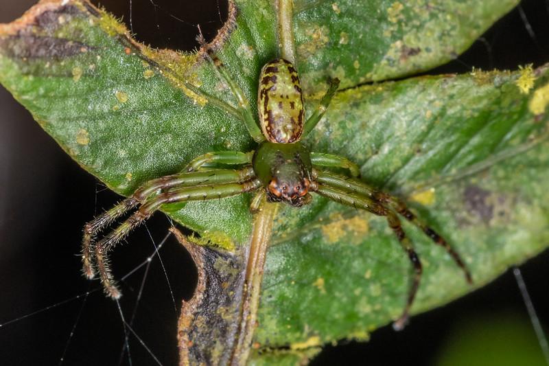 Flower spider (Diaea ambara). Danseys Reserve, Rotorua.