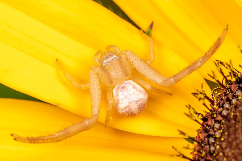 Crab spider (Mecaphesa spp.) waiting in ambush on black-eyed Susan (Ridbeckia hirta). Wild River State Park, MN, USA.