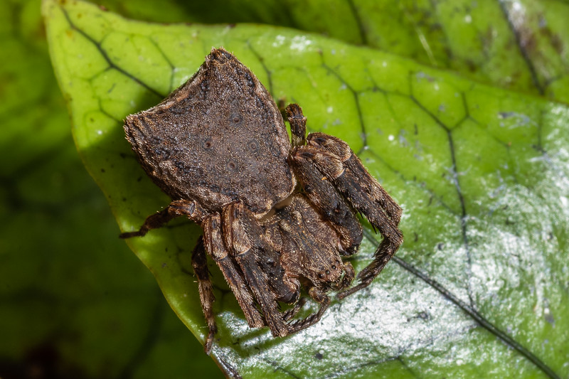 Square-ended crab spider (Sidymella angularis). Awatiro Farm, Waitomo.