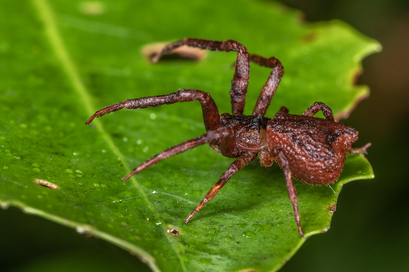 Square-ended crab spider (Sidymella angularis). Patea Loop Track, Taranaki.
