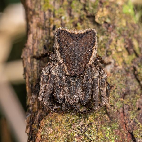 Square-ended crab spider (Sidymella angularis). Te Whare Okioki, Kaimai Range, Waikato.