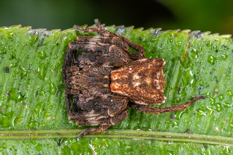 Square-ended crab spider (Sidymella angularis). Dawson Falls, Taranaki.