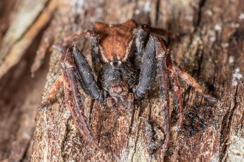 Square-ended crab spider (Sidymella angularis). Hinau Track, Kaikōura.