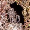 Square ended crab spider (Sidymella angularis). Sandy Bay, Lake Waikareiti, Te Urewera National Park.