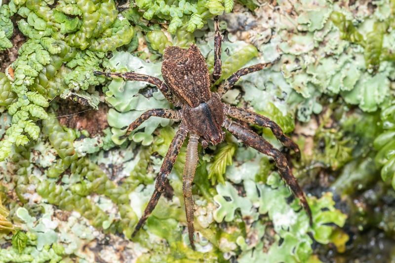 Square-ended crab spider (Sidymella angulata). Lady Bay, Long Sound, Fiordland National Park.
