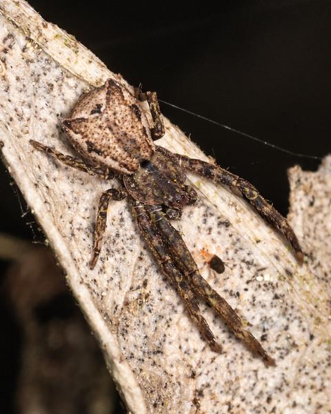 Square-ended crab spider (Sidymella angulata). Kauri Loop Walk, Hakarimata Range.