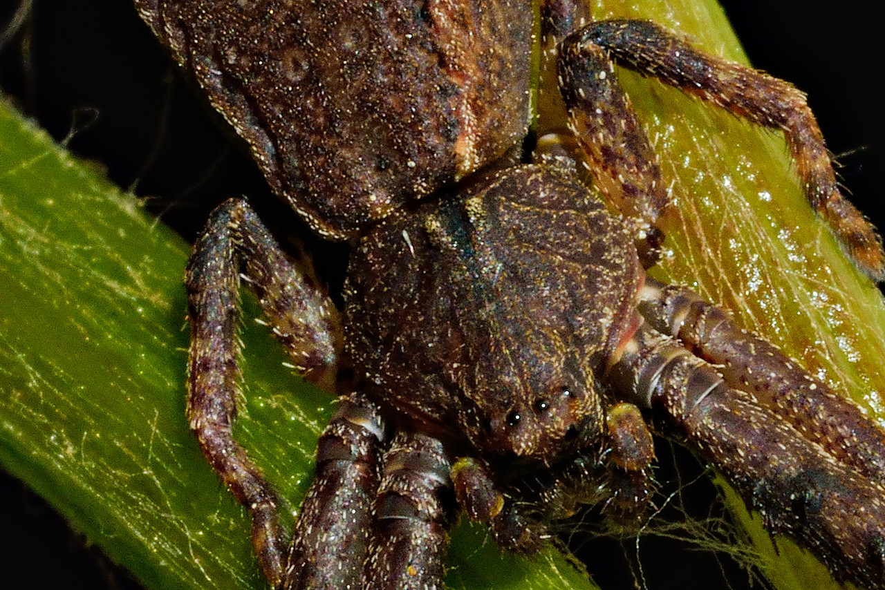 Square-ended crab spider (Sidymella spp.) on grapevine stalk. Opoho, Dunedin.