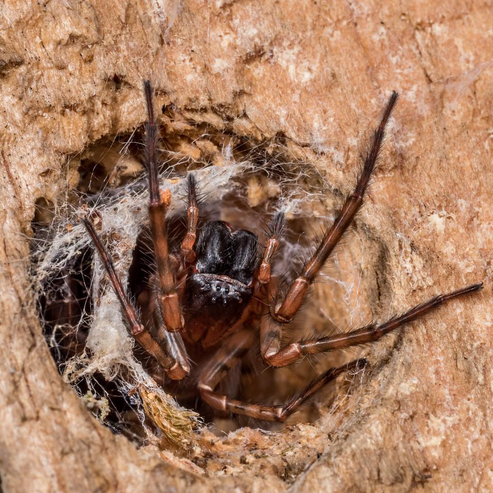 Unidentified spider. Flora Hut, Kahurangi National Park.