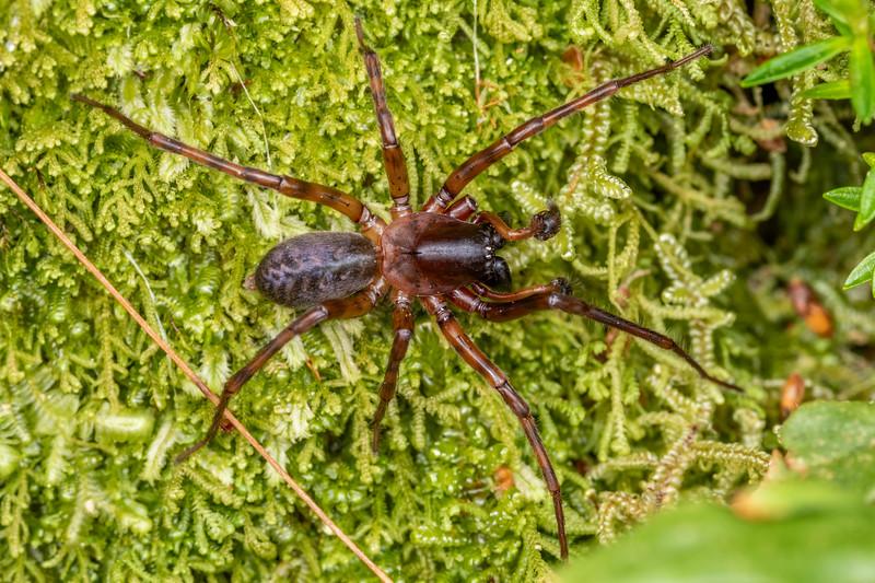 Unidentified spider. Buckland Peaks, Paparoa Range.