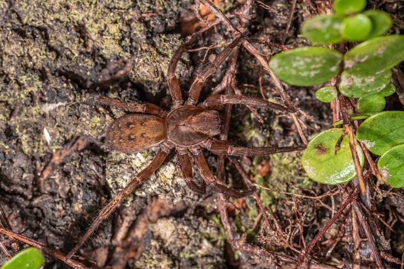 Large brown vagrant spider (Uliodon albopunctatus). Duncan Bay, Tennyson Inlet, Marlborough Sounds.