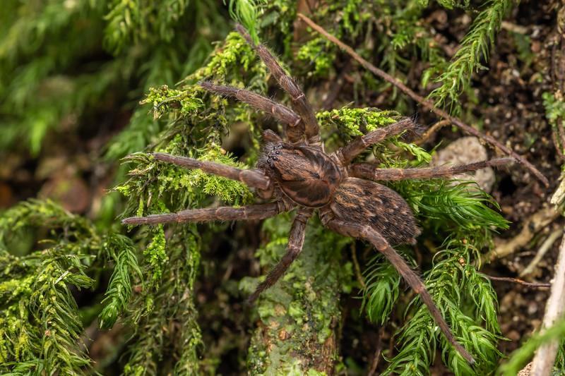 Large brown vagrant spider (Uliodon albopunctatus). Poukaria campsite, Whanganui River.