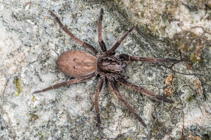 Large brown vagrant spider (Uliodon albopunctatus). Bulmer Creek, Mt Owen, Kahurangi National Park.