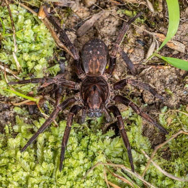 Large brown vagrant spider (Uliodon albopunctatus). Nikau Creek, Wainuiomata, Wellington.