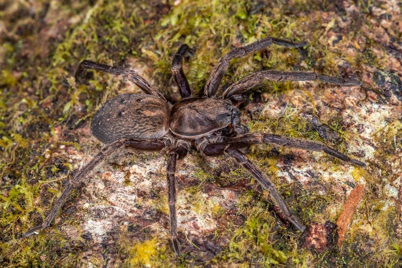 Large brown vagrant spider (Uliodon albopunctatus). Patea Loop Track, Taranaki.