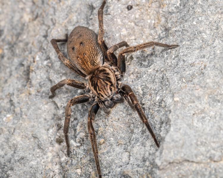 Large brown vagrant spider (Uliodon albopunctatus). Poverty Basin, Mount Owen, Kahurangi National Park.
