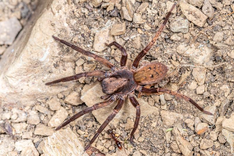 Large brown vagrant spider (Uliodon albopunctatus). Brook Waimarama Ecosanctuary, Nelson.