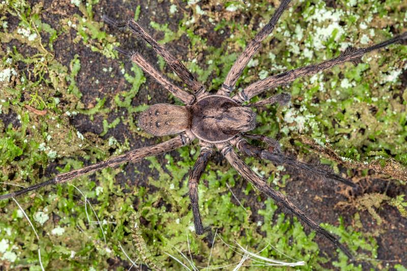 Large brown vagrant spider (Uliodon albopunctatus). Mohi Bush, Havelock North.