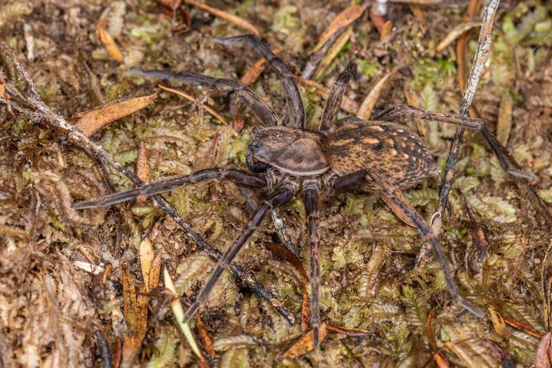 Large brown vagrant spider (Uliodon albopunctatus). Waterworks Walk, Ngaruawahia.