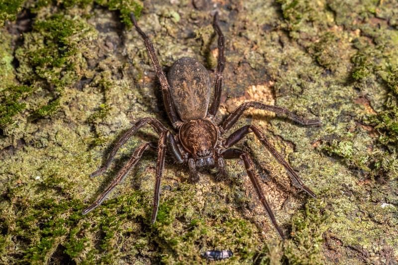 Large brown vagrant spider (Uliodon albopunctatus) checking out an elongate-bodied springtail (Family Tomoceridae). Te Whare Okioki, Kaimai Range, Waikato.