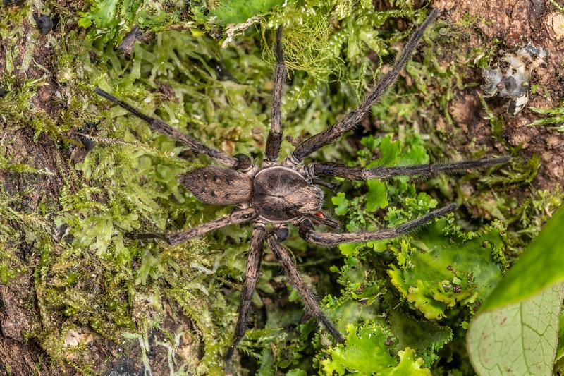 Large brown vagrant spider (Uliodon albopunctatus). Dawson Falls, Taranaki.
