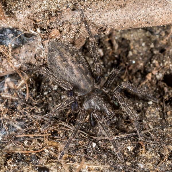 Vagrant spider (Uliodon spp.). Mount Arthur, Kahurangi National Park.
