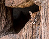 Arizona Senora Desert Museum - Mountain Lion