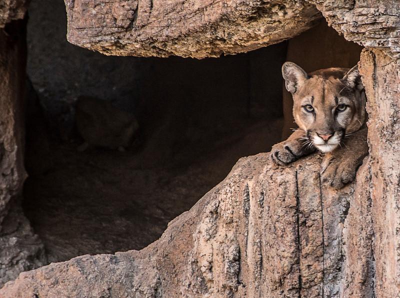 Arizona Senora Desert Museum - Mountain Lion