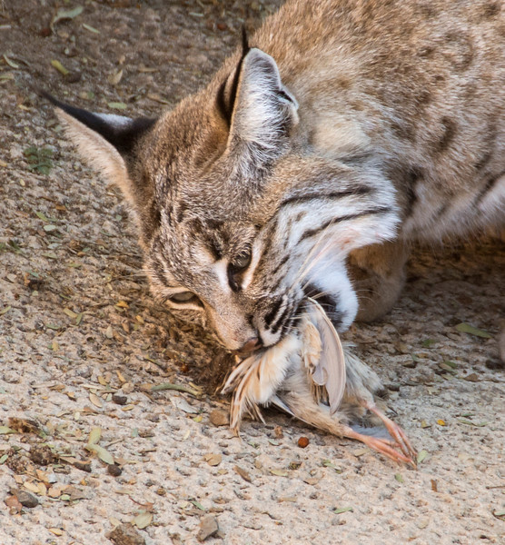 Arizona Senora Desert Museum - Bob Cat