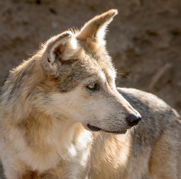 Arizona Senora Desert Museum - Mexican Wolf