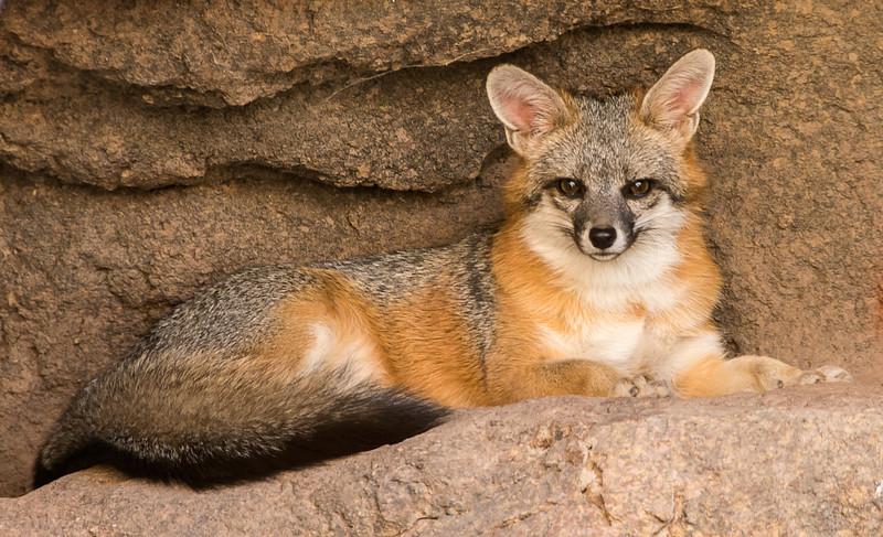 Arizona Senora Desert Museum - Gray Fox