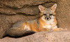Arizona Senora Desert Museum - Gray Fox