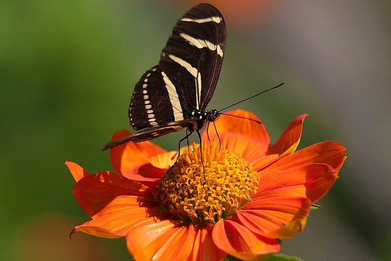 5207 A zebra longwing butterfly on that same orange flower.