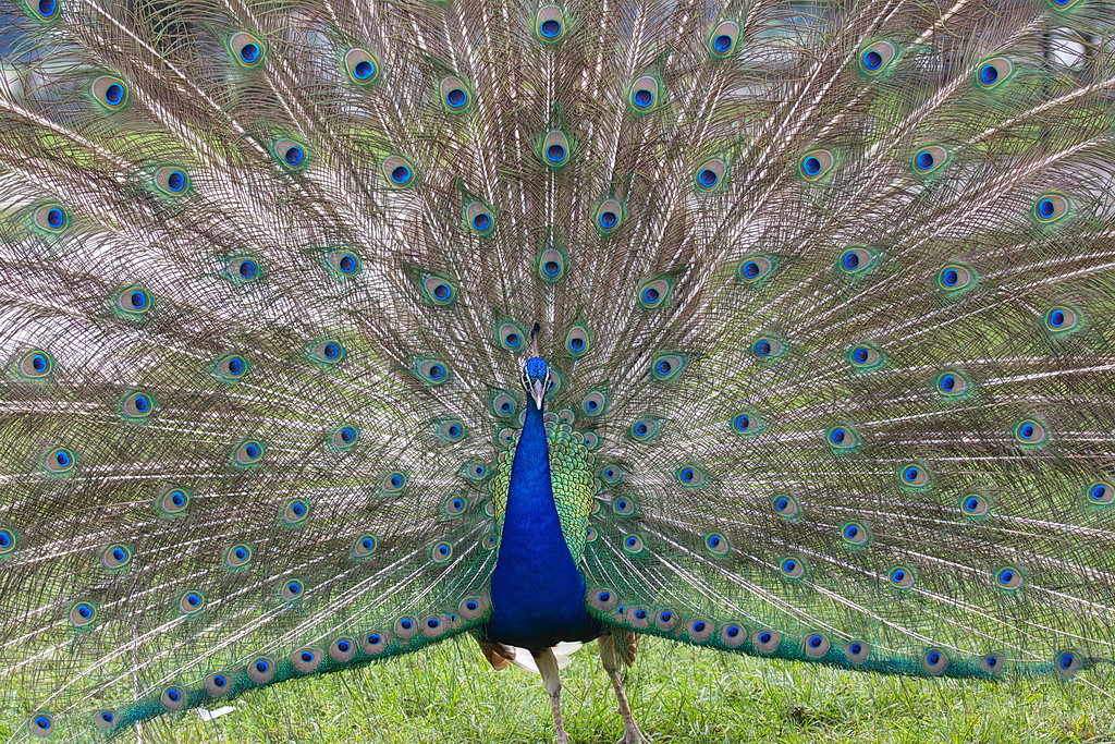 5331 This is the male peacock, with its tail fully erect and displaying all its beautifully colored feathers in hopes of winning the peahen's heart. I watched for a while, but she was having none of his advances. After about twenty minutes of no success he lowered his tail feathers and stopped wasting his time. Sorry, Dude. (I think this photo would make a great 1000-piece jigsaw puzzle.)