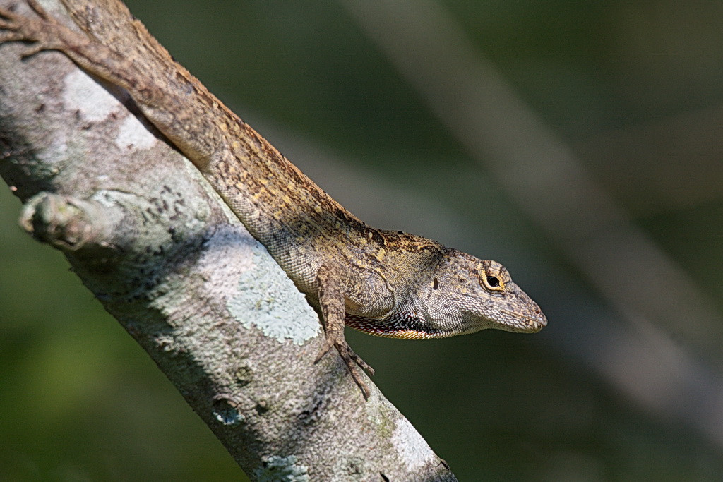 5223 An anole, perhaps a Cuban brown. It was just hanging out on the branch, probably waiting for some insect to present itself for breakfast.
