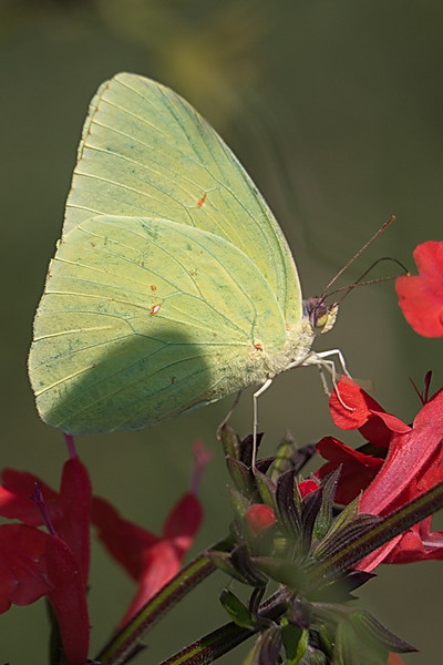 5197 A cloudless sulphur butterfly.