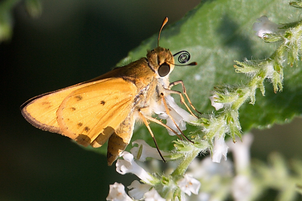 5137 Another view of the fiery skipper, this time with its proboscis coiled up.