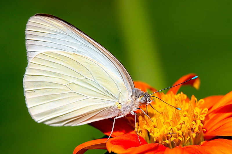 5251 A great southern white butterfly on a beautiful orange flower.