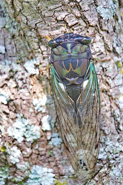 "5280 A top view of the dog-day cicada. Yes, those bulbous things on either side of its head are its eyes, but only two of them. The three red dots arranged in a triangle in the center of the top of its head between its eyes are three more eyes. And notice its upside-down ""golden arches.""  I don't know if the cicada pays royalties to McDonald's to use the arches, or if McDonald's pays the cicada to advertise. But cool critter, no?"