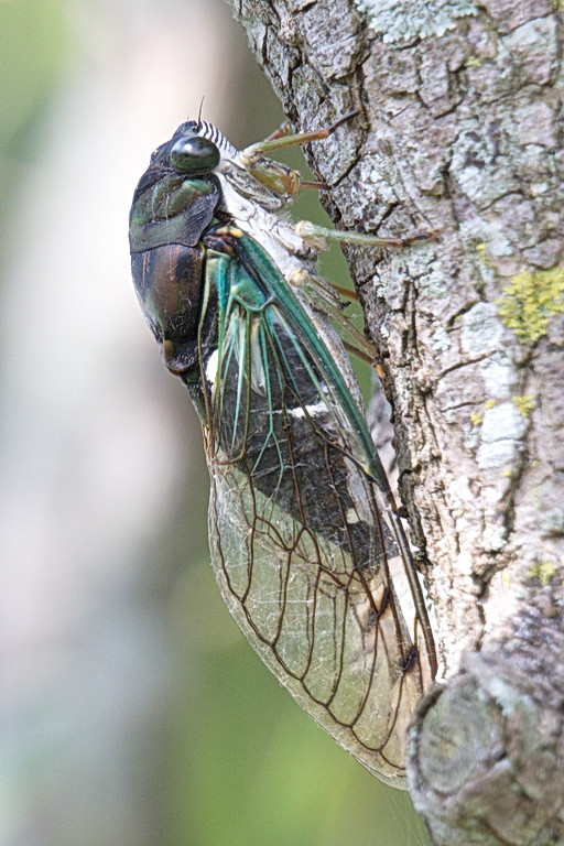 5286 Another view of the dog-day cicada. This insect is basically harmless to humans. Like butterflies, it has a proboscis that it uses to feed on sap from plants.