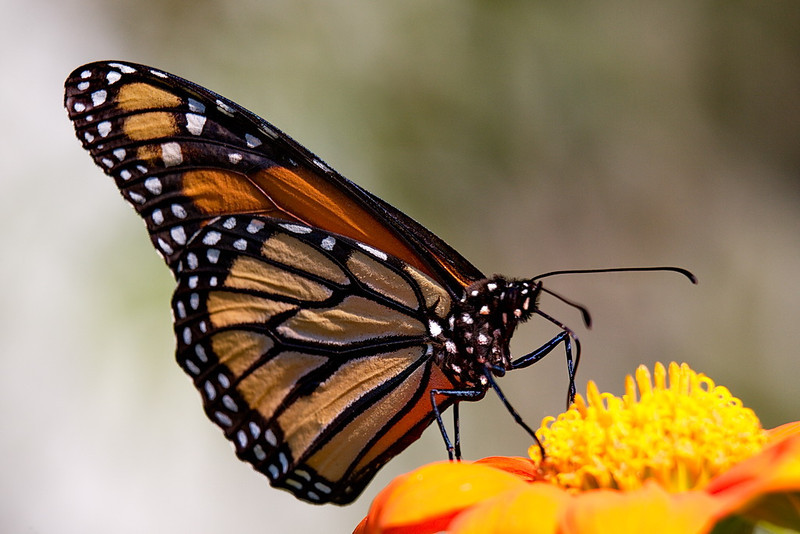 5233 The classic butterfly, the monarch.