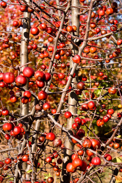 The beauty of Hawthorne Berries after the leaves have fallen.