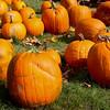 A field full of large pumpkins.