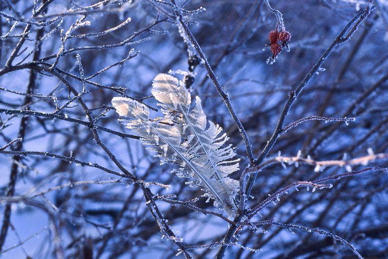 Frozen feathers stuck in the branches after a Montana ice storm.