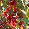 Red Elderberries of fall.