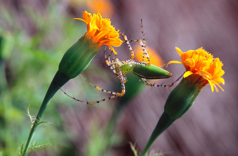 Spider Between Flowers, Pakse<br /> (Lao, 2004)