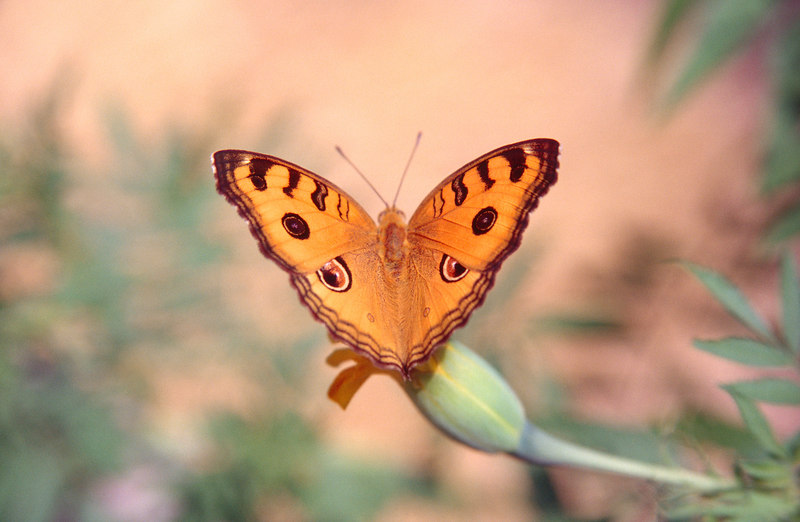 Peacock Pansy, Don Det<br /> (Lao, 2004)
